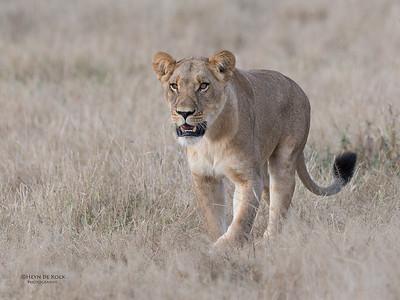 African Lion, Savuti, Chobe NP, Botswana, May 2017-23