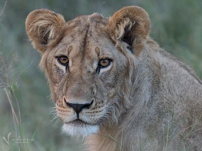 African Lion, Savuti, Chobe NP, Botswana, May 2017-13