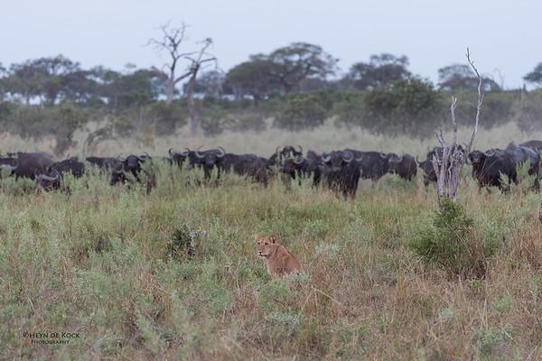African Lion & Buffalo, Savuti, Chobe NP, Botswana, May 2017-44
