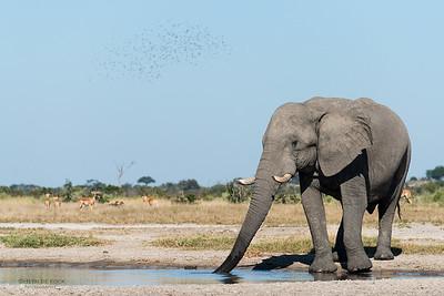 African Elephant, Savuti, Chobe NP, Botswana, May 2017-1