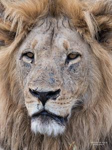African Lion, Savuti, Chobe NP, Botswana, May 2017-17