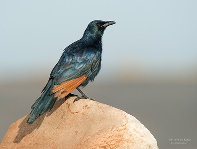 Red-winged Starling, Table Mountain NP, WC, SA, Jan 2014-1 copy