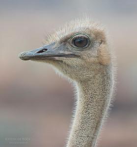 Ostrich, f, Table Mountain NP, WC, SA, Jan 2014