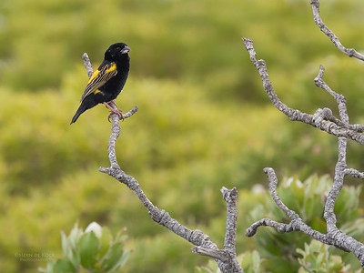 Yellow Bishop, Cape of Good Hope NP, Sept 2016