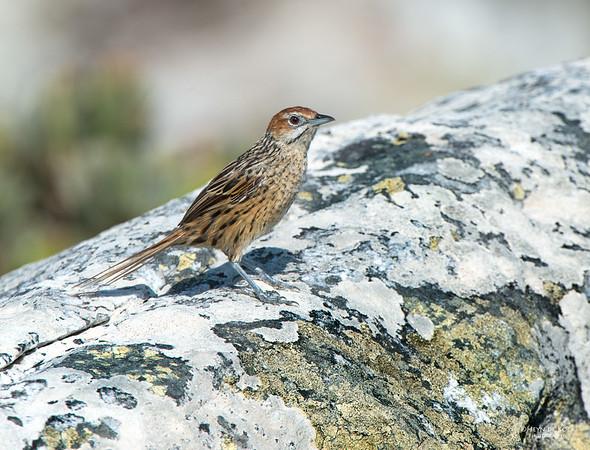 Cape Grassbird, Table Mountain NP, WC, SA, Jan 2014-1