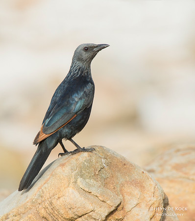 Red-winged Starling, f, Table Mountain NP, WC, SA, Jan 2014