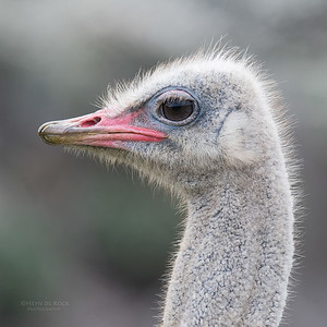 Common Ostrich, Cape of Good Hope NP, Sept 2016