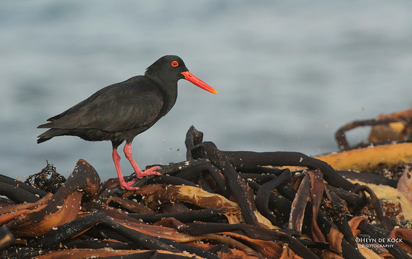 African Oystercatcher, Table Mountain NP, WC, SA, Jan 2014