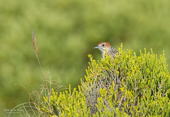 Cape Grassbird, Table Mountain NP, WC, SA, Jan 2014