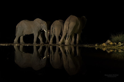 African Elephant, Zimanga, South Africa, May 2017-7