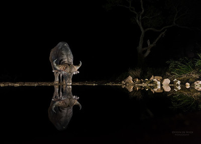 African Buffalo, Zimanga, South Africa, May 2017-4