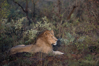 African Lion, Zimanga, South Africa, May 2017-1