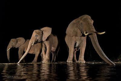 African Elephant, Zimanga, South Africa, May 2017-3
