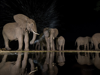 African Elephant, Zimanga, South Africa, May 2017-1