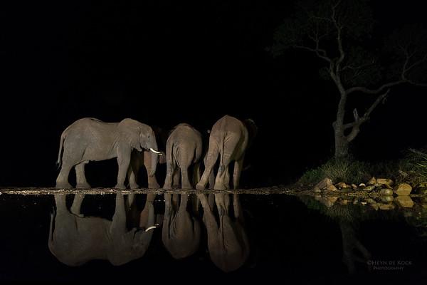 African Elephant, Zimanga, South Africa, May 2017-5
