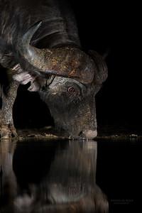 African Buffalo, Zimanga, South Africa, May 2017-3