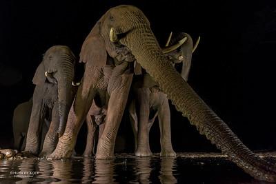 African Elephant, Zimanga, South Africa, May 2017-2