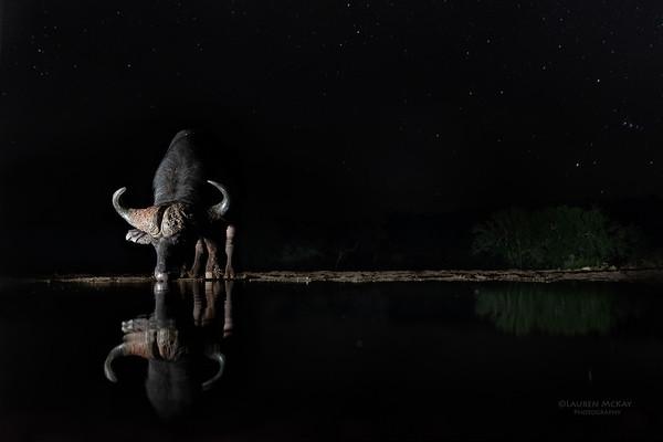African Buffalo, Zimanga, South Africa, May 2017-1
