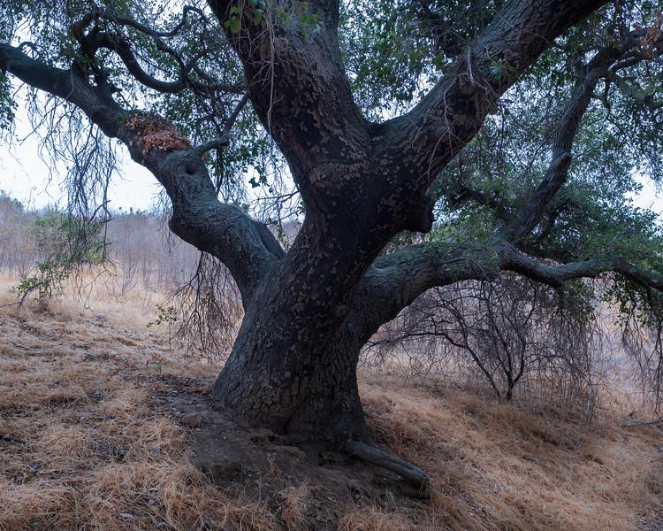 Oak Tree, Irvine Regional Park