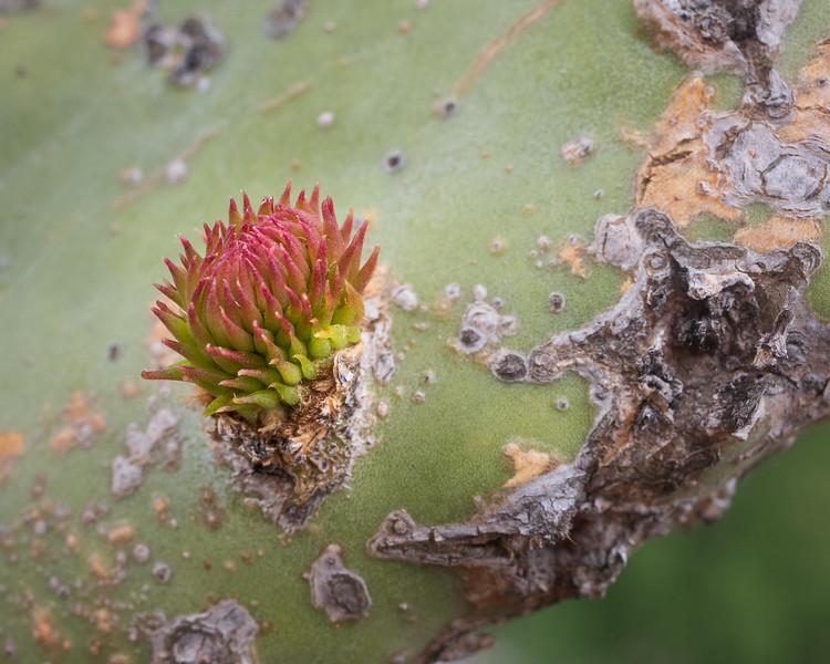 Prickly Pear Bud