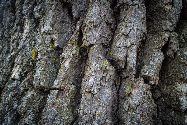 Oak Tree Study No. 2
