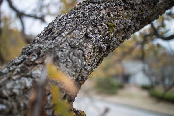 Oak Tree Study No. 4