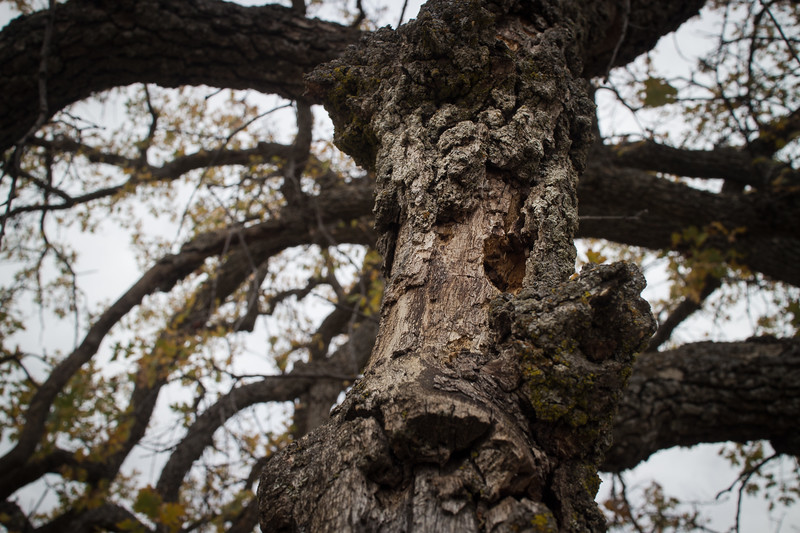 Oak Tree Study No. 1