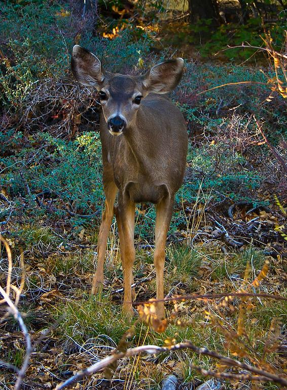 Mule Deer Close-up