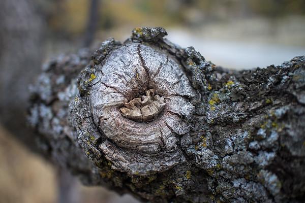 Oak Tree Study No. 6