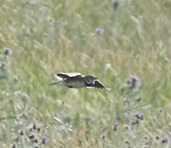 Calandra Lake in Flight Showing Black Patch on Side of Breast