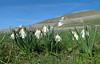 Narcissus mosschatus