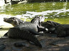 Aligator (Palmitos Park)