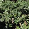 Carica papaya, native to Mexico, Banana plantation, near Vallehermoso