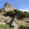 Juniperus phoenica ssp canariensis, W of Roque El Cano 650m, E of Vallehermoso (I)
