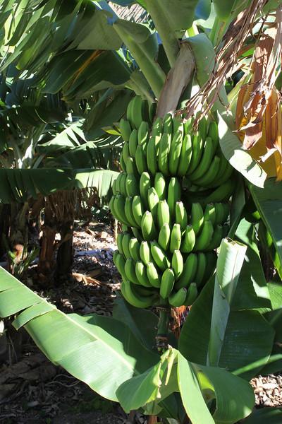 Musa acuminata, Banana plantation, near Vallehermoso