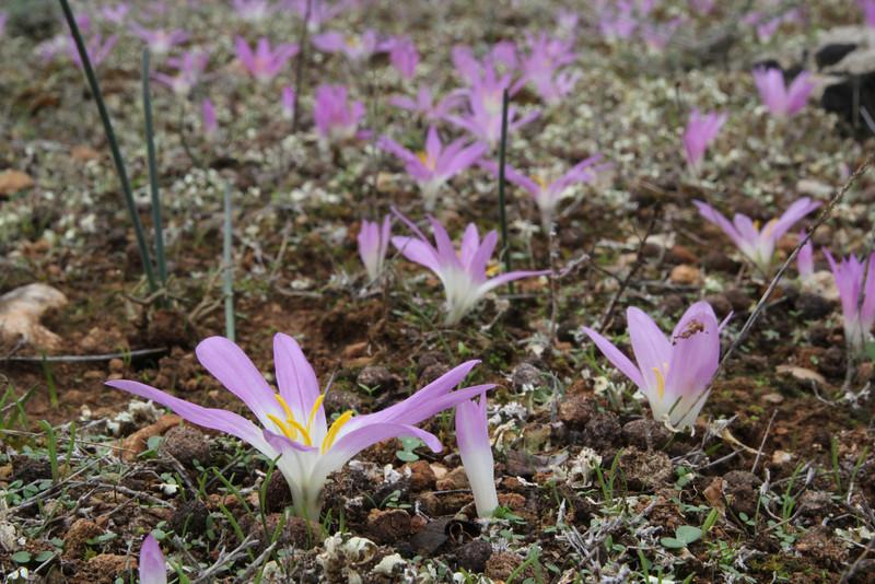 Colchicum filifolia, Song Gual ca 100m near MA15