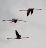 Phoenicopterus ruber, Flamingo, Salobrar de Campa