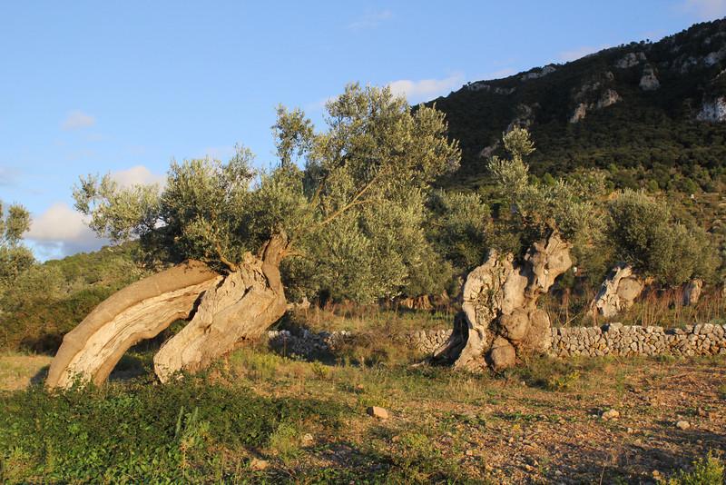 Olea europaea orchard, Dejá - Sóller 200m