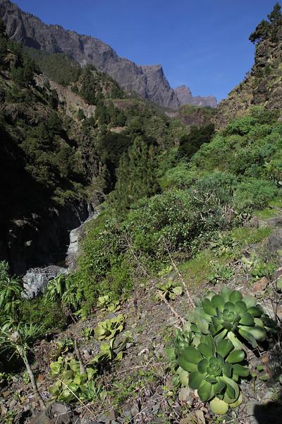 Aeonium nobile and A. calderense, Barranco de las Angustias, route PR LP 13.1 in the South of Parque Nacional de la Caldera de Taburiente