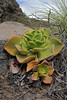 Aeonium nobile, endemic to La Palma, North hill of Barranco de Las Angustias 450m LP1(B)
