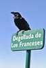 Corvux corax tingitanus, near Mirador Degollada de Franceses, LP4, Parque Nacional de la Caldera de Taburiente