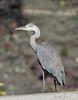 Ardea cinerea, Heron, (NL: blauwe reiger) near Las Angustias, Montana de Argual, LP1