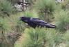 Corvux corax tingitanus, Raven, (NL: Raaf), Torre del Time, S of Hoya Grande 1387m