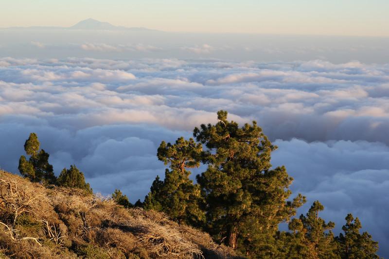 Pinus canariensis, GR131, East caldera near Pico de la Nieve ~2100m, Parque Nacional de la Caldera de Taburiente