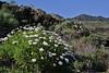 Argyranthemum haouarytheum, near Fuencaliente (Los Canarios)