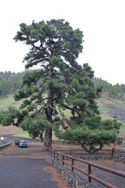 Pino Santo Domingo, Pinus canariensis, Montana del Pino, in Pinus canariensis forrest