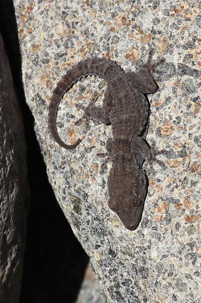 Tarentola delalandii?, La Palma endemic wall gecko, Barranco de las Angustias, route PR LP 13.1 in the South of Parque Nacional de la Caldera de Taburiente