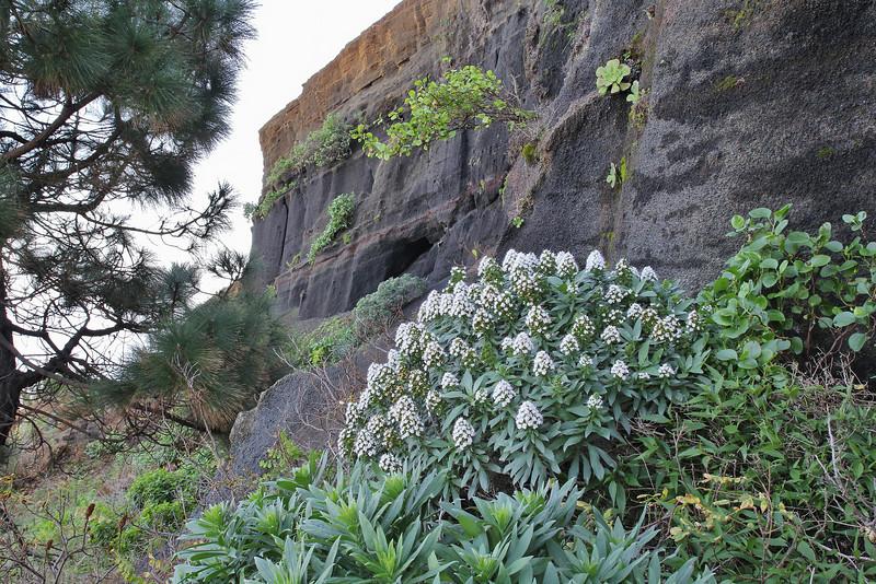 Echium brevirame????, endemic to La Palma, E of Barlovento 500m, LP1 (J)