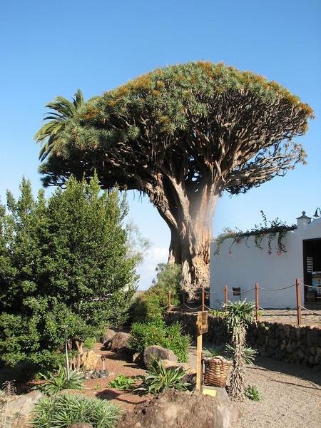 Dracaena draco (Icod de Los Vinos, Tenerife)