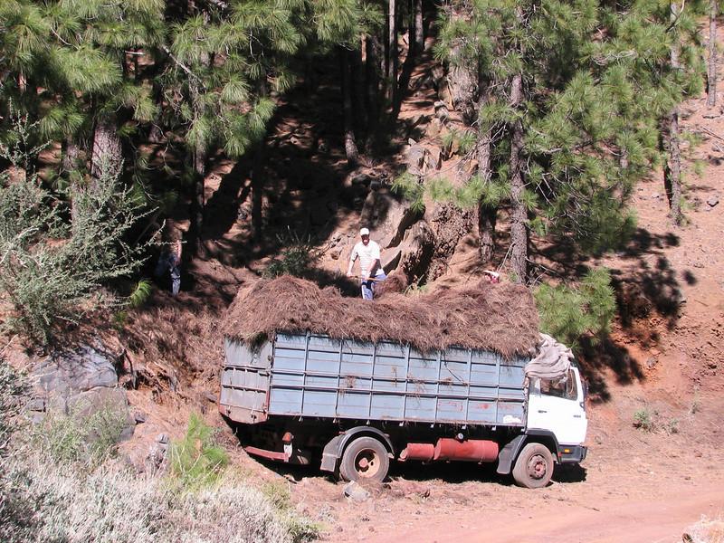 collecting needles of Pinus canariensis (Tenerife)